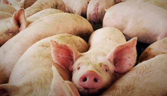 Argentina, ¿fábrica de cerdos?